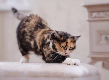 Почему кошка царапает мебель и обои?